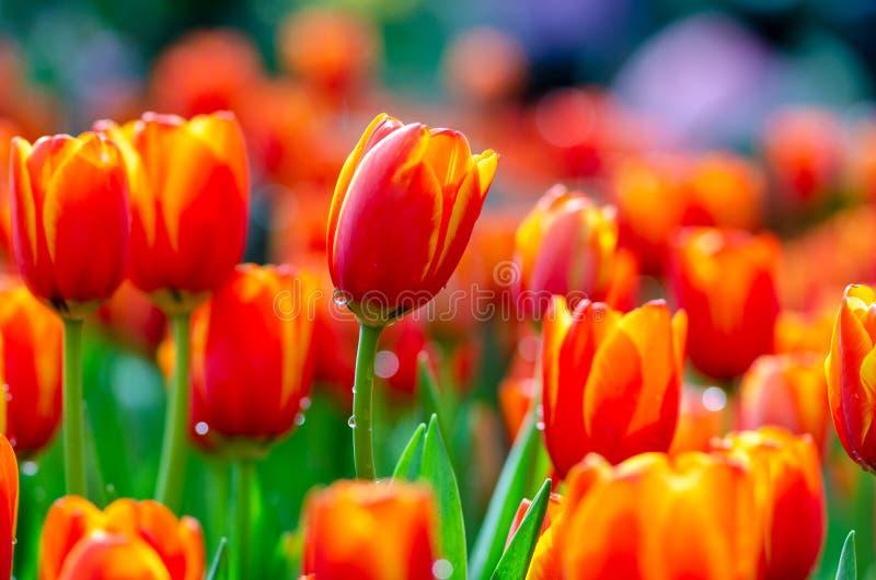 红色黄色郁金香领域密集地开花 库存照片