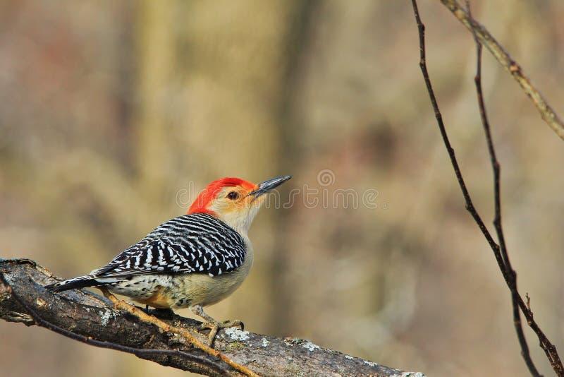 红色鼓起的啄木鸟-野生生物背景-桃红色和红色姿势  库存照片