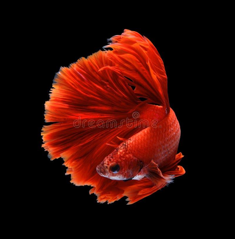 红色龙暹罗战斗的鱼,在黑b隔绝的betta鱼 库存图片