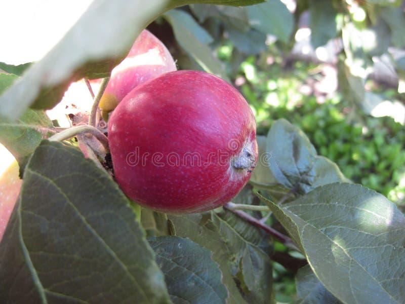 红色,成熟苹果计算机在叶子掩藏了在一个晴天 免版税库存照片