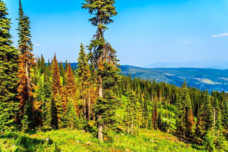 红色,死的杉树由于杉木在太阳的甲虫攻击在加拿大BC锐化 免版税图库摄影