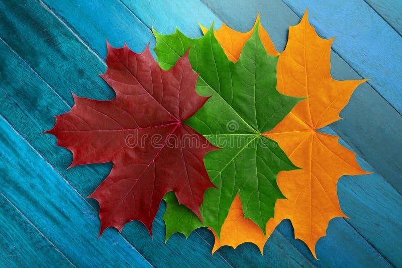 红色,绿色和黄色秋天槭树在蓝色木表面离开 免版税库存照片