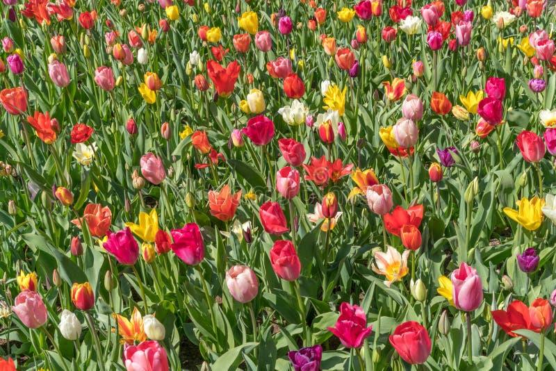 红色,黄色,紫色,白色,多色郁金香在一好日子,在春天绽放期间 免版税库存照片