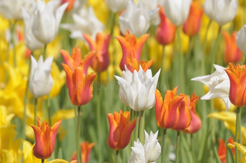 红色,黄色和白色郁金香 免版税库存图片