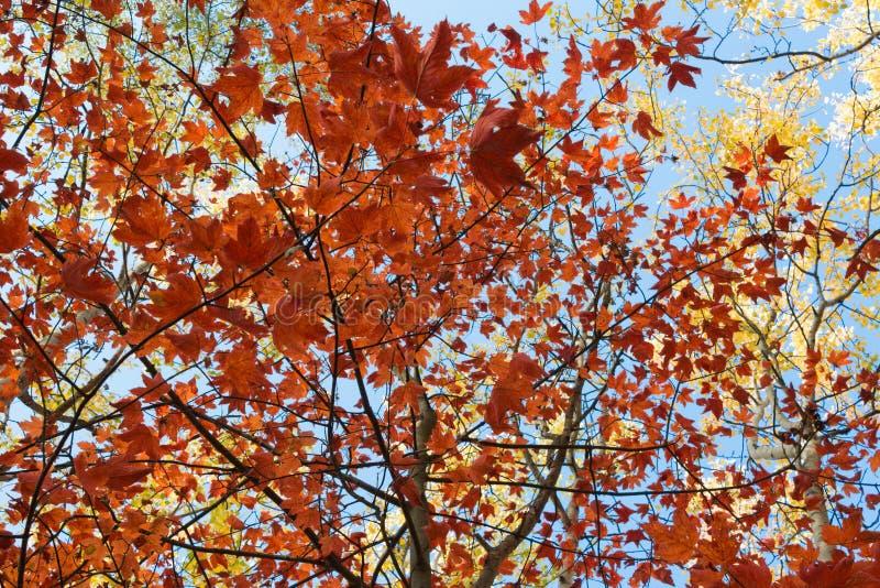 红色离开,金黄叶子-秋天森林,秋天 图库摄影