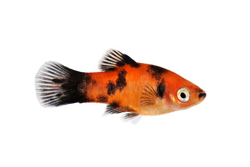 红色黑新月鱼男性Xiphophorus maculatus热带水族馆鱼 库存照片