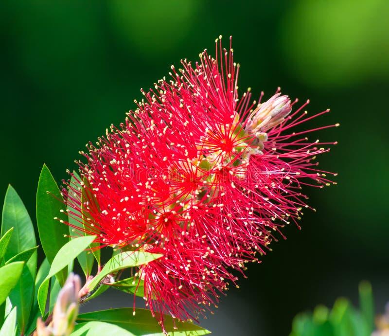 红色洗瓶刷花& x28;CALLISTEMON植物& x29; 免版税库存图片