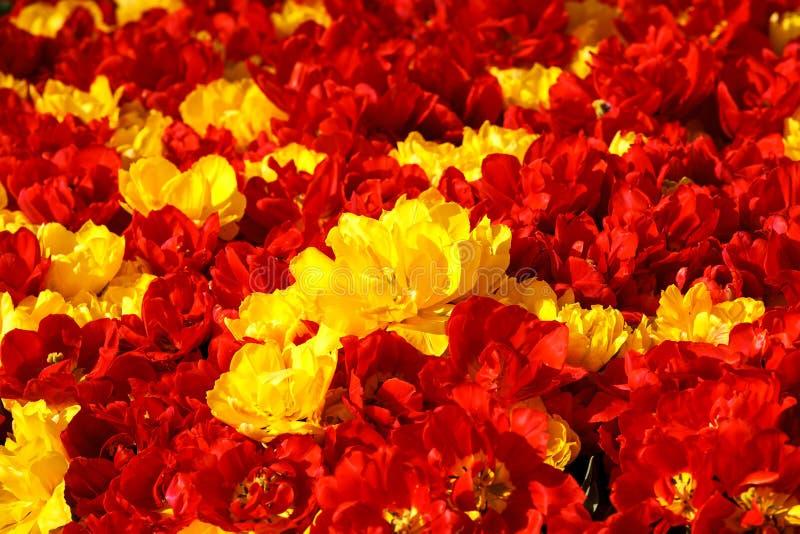红色黄色郁金香 免版税库存照片