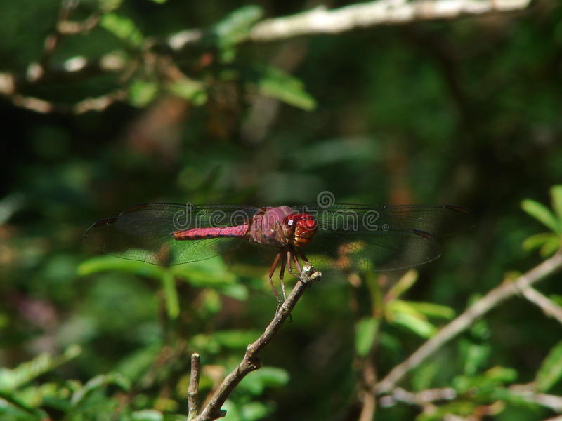 红色蜻蜓在自然生态环境 免版税库存照片