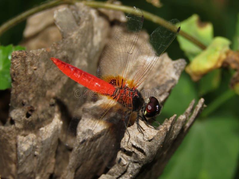 红色蜻蜓秀丽  免版税库存照片