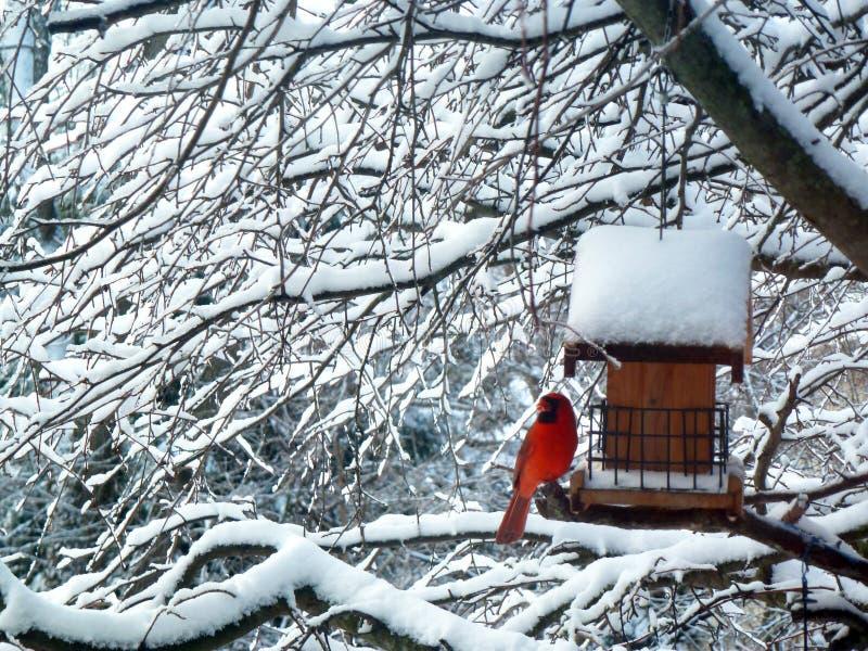 红色主要鸟雪树 免版税库存图片