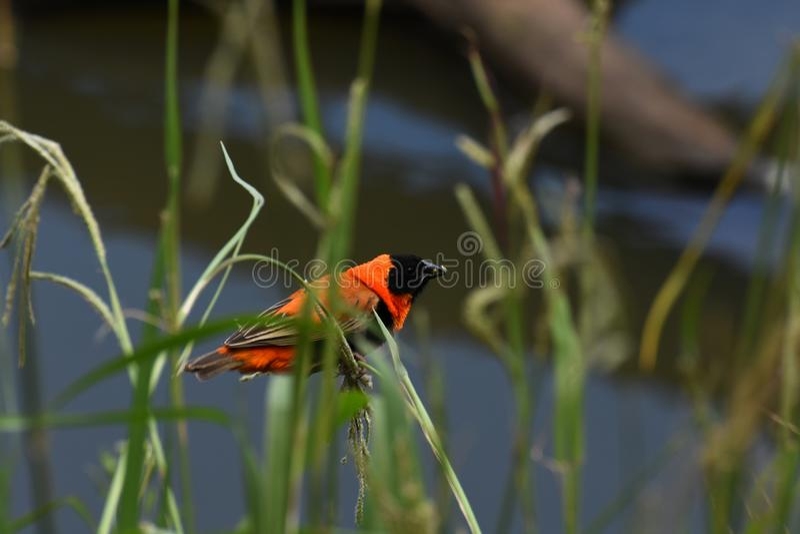 红色Bird On Grass With主教种子 库存图片