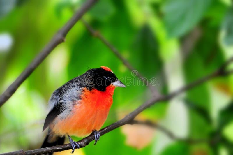 绯红色breasted雀科鸟在鸟舍 库存图片