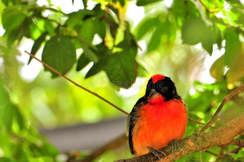 绯红色breasted雀科鸟在鸟舍 免版税库存图片