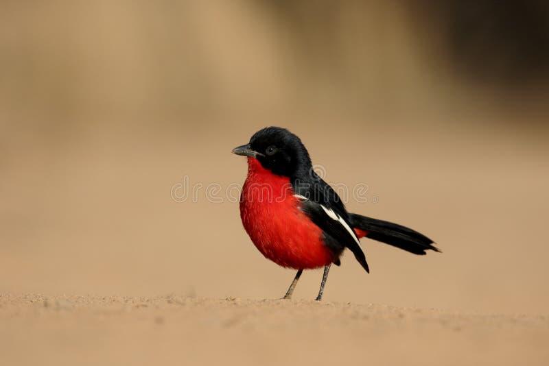 绯红色breasted shike, Laniarius atrococcineus 库存照片