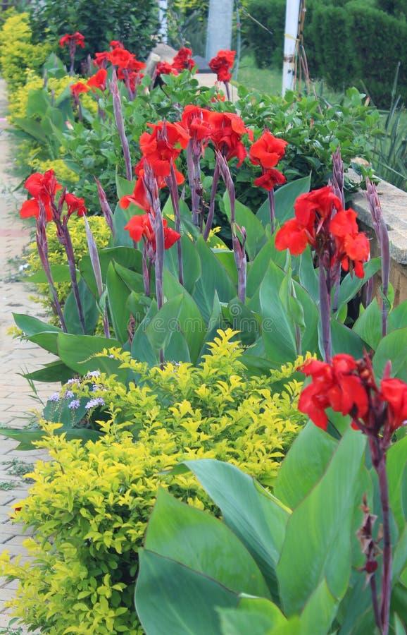 红色canna花在庭院里 免版税库存图片