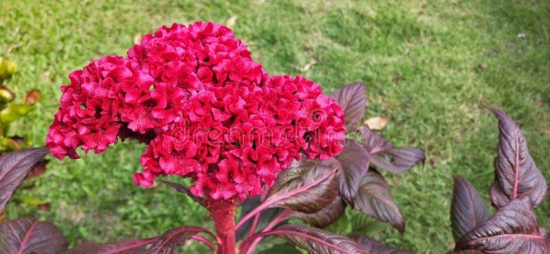 红色Cockscomb花在公园 库存照片