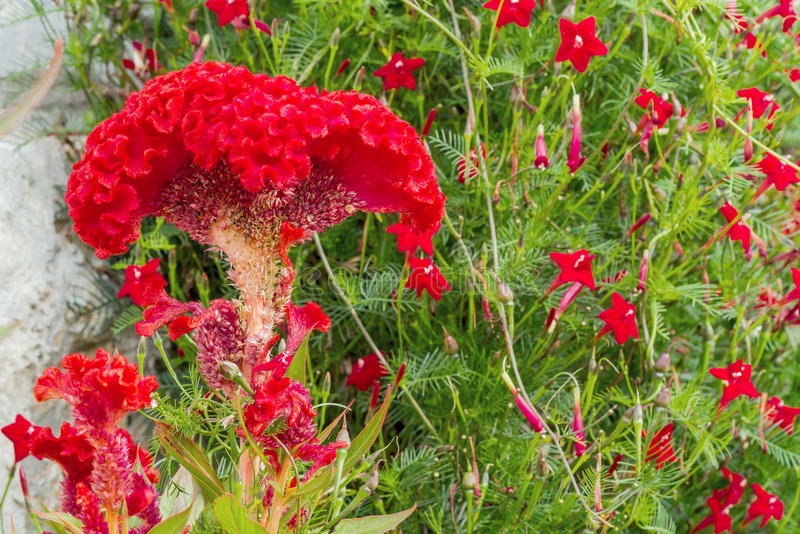 Download 红色Cockscomb 库存照片. 图片 包括有 本质, 开花, 绿色, 绽放, 植物群, beauvoir - 62538818