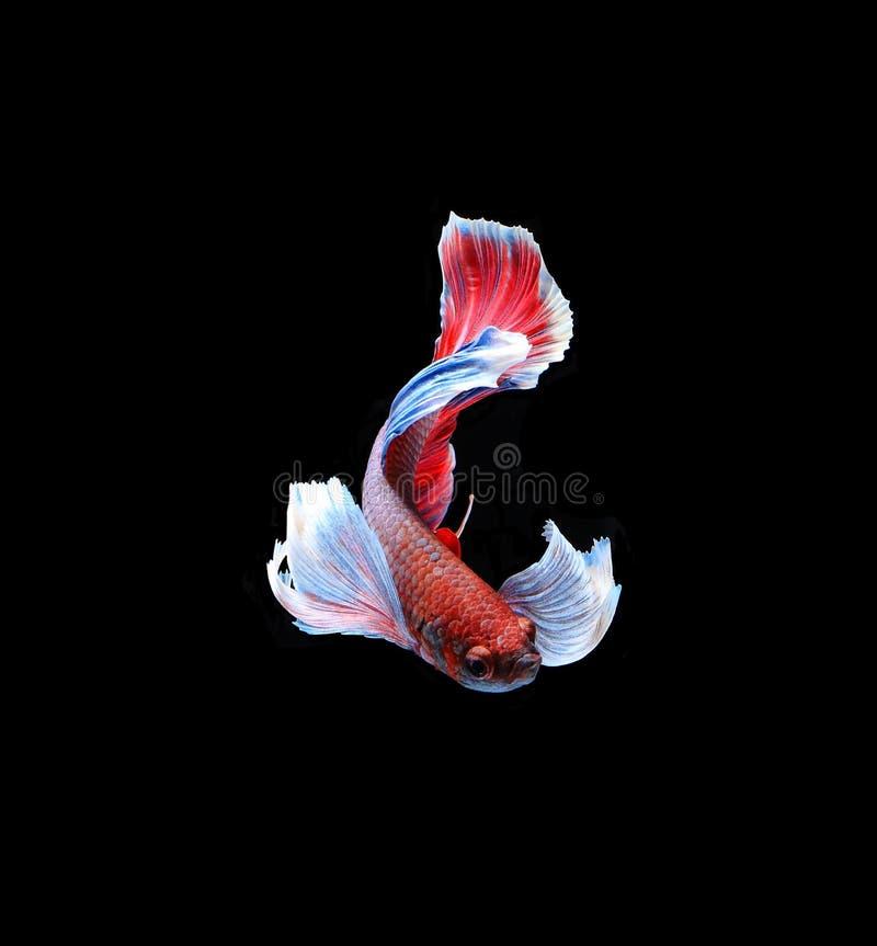 红色doubletail暹罗战斗的鱼,在bla隔绝的betta鱼 库存照片