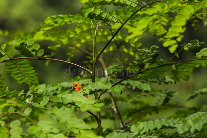 红色fody在塞舌尔群岛的热带海岛上 库存照片