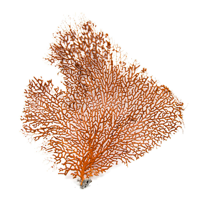 红色Gorgonian或红海在白色背景隔绝的爱好者珊瑚 免版税图库摄影