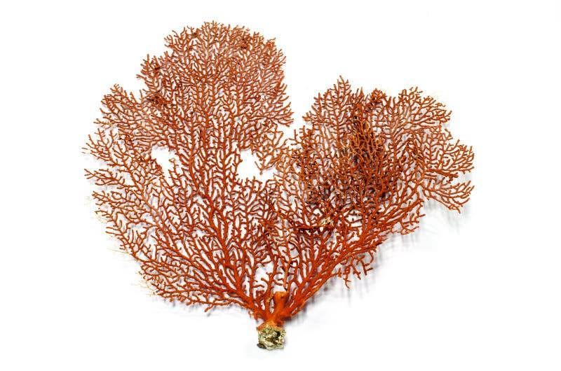 红色Gorgonian或红海爱好者珊瑚 免版税库存图片