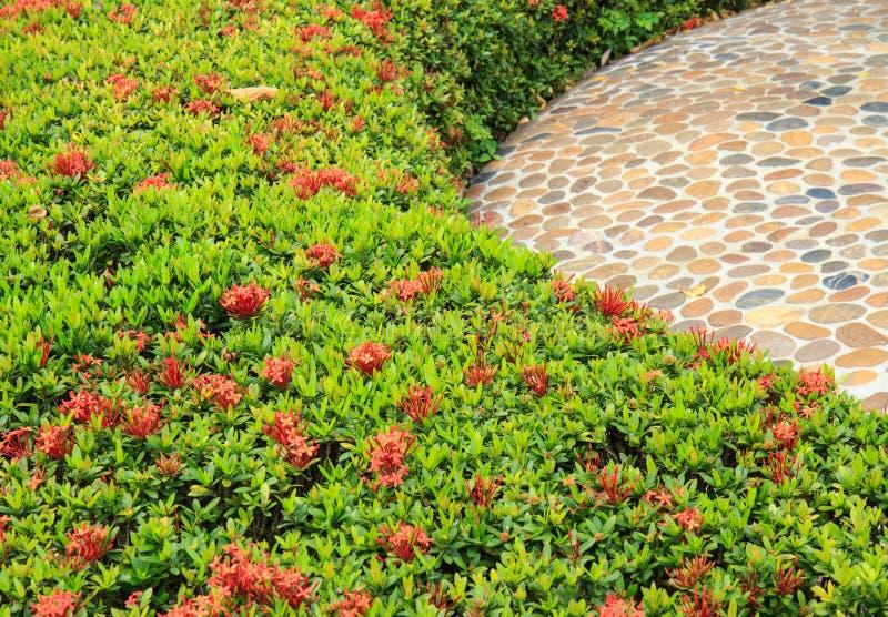 红色Ixora灌木  库存图片