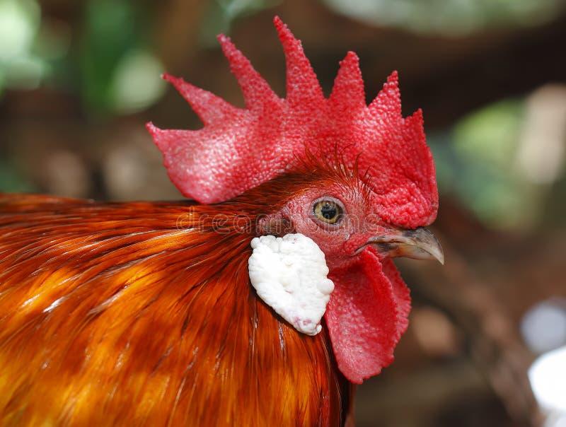 红色junglefowl背带背带 库存图片