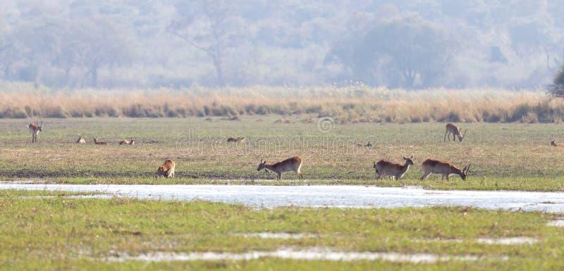 红色lechwe水羚属leche 库存图片