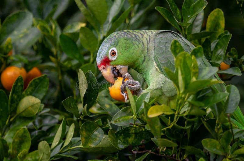 红色Lored鹦鹉在哥斯达黎加 库存照片