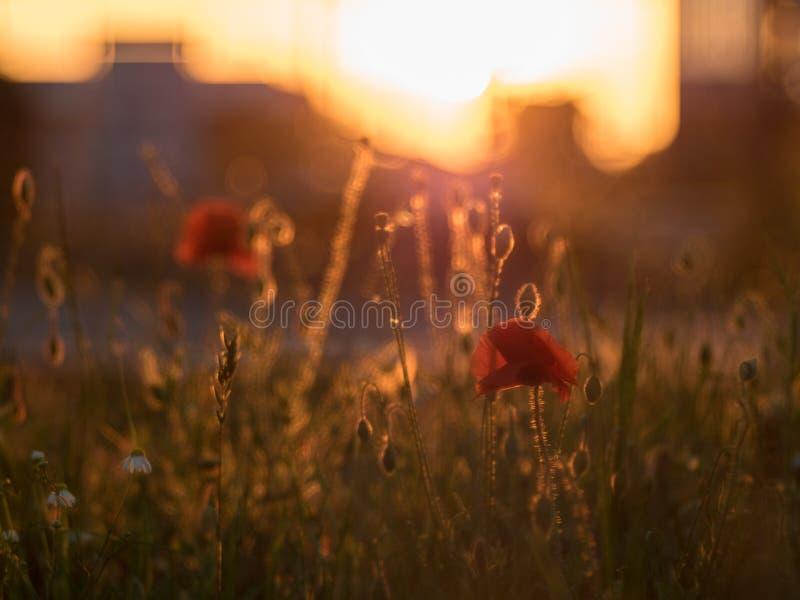红色poppys在日落/日落的城市 库存图片