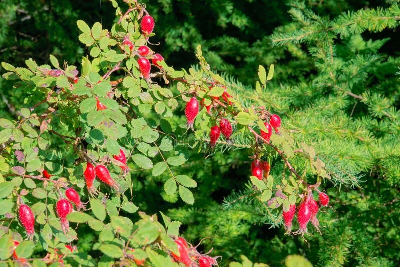 红色rosebush果子 库存照片