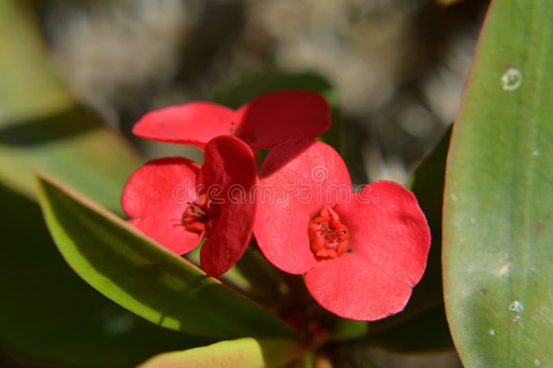 红色suculent花,宏指令 免版税库存照片