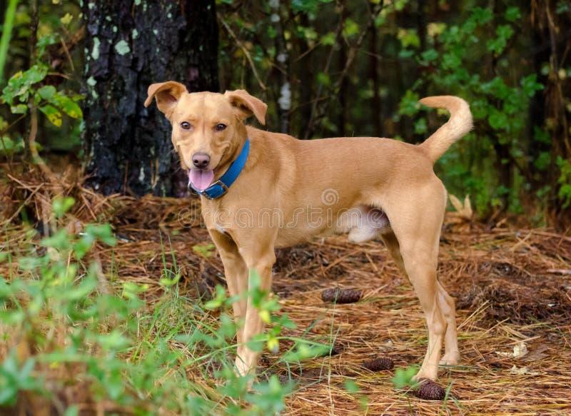 红色vizsla猎犬被混合的品种狗