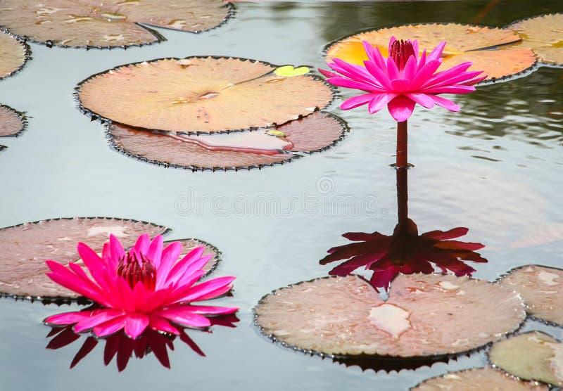 绯红色Waterlillies 库存照片