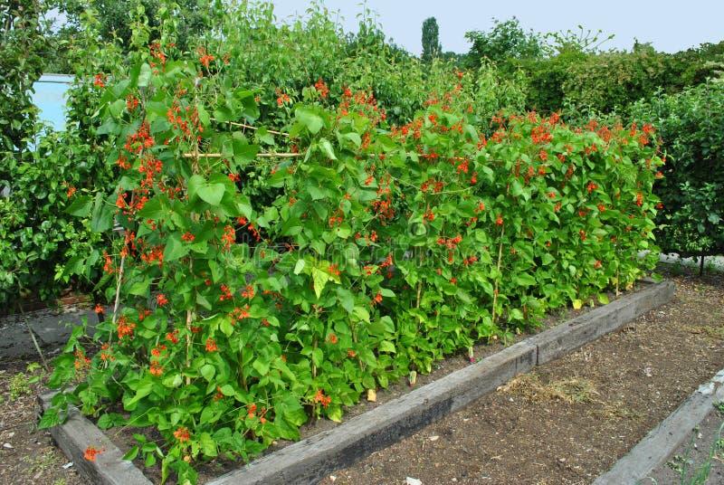 红花菜豆 库存图片