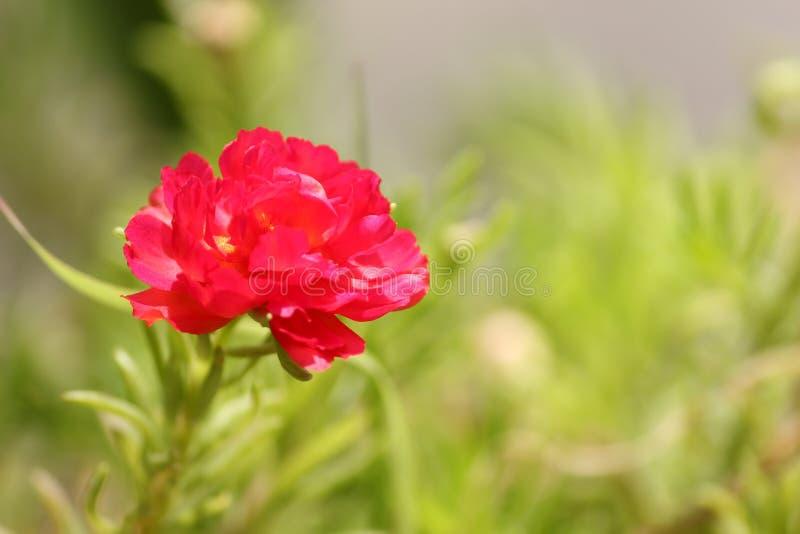 红苔玫瑰夏花背景 免版税库存照片
