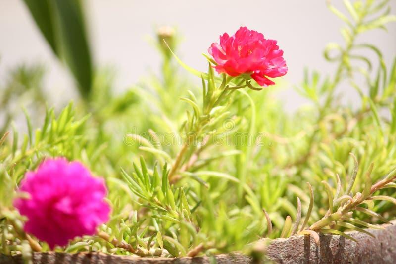 红苔玫瑰夏花背景 免版税图库摄影