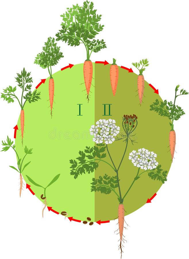 红萝卜发展的两年生命周期从种植一颗种子的对开花植物 皇族释放例证