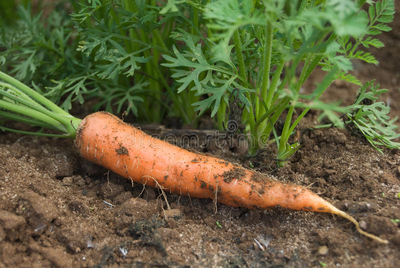 红萝卜工厂 免版税库存图片