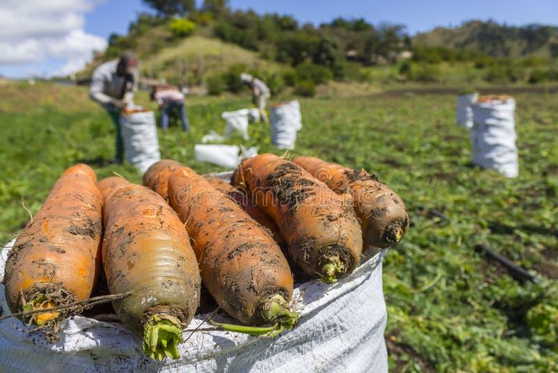 红萝卜收获 免版税图库摄影