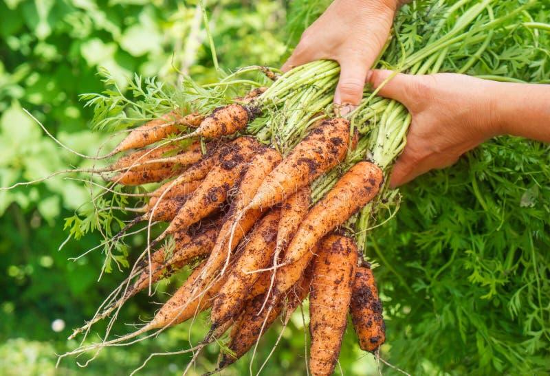 红萝卜新近地收获了 库存图片