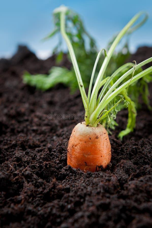 红萝卜有机蔬菜 免版税库存图片