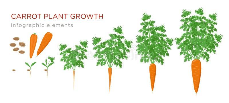 红萝卜植物生长阶段infographic元素 红萝卜,成熟taproot的新芽的增长的过程从种子的,生活 皇族释放例证