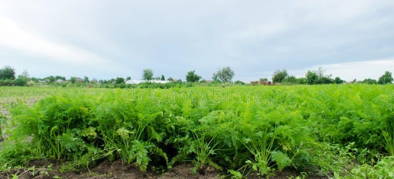 红萝卜种植园在领域增长 ?? E 风景农业 种田农场 r 图库摄影