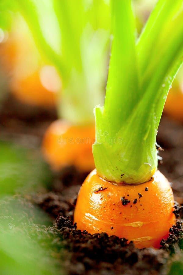 红萝卜菜在土壤有机backgro的庭院里增长 库存图片