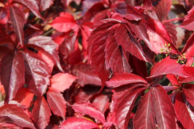 红葡萄叶子在秋天 免版税库存照片