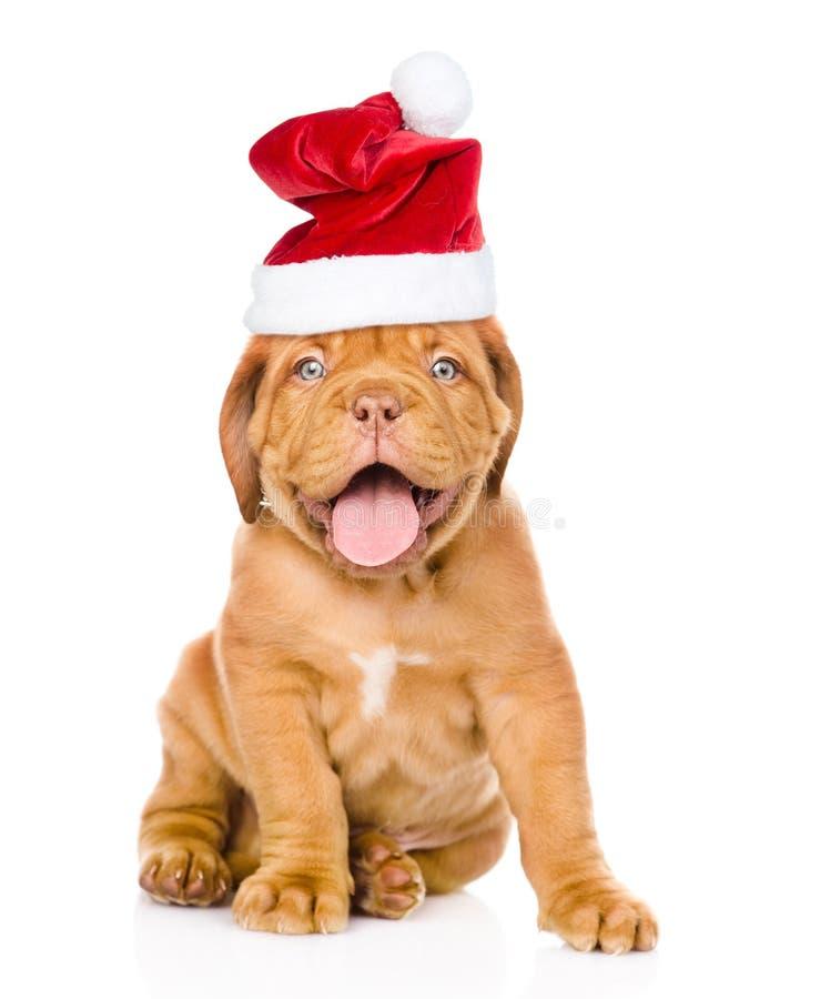 红葡萄酒在坐在前面的红色圣诞节帽子的小狗 查出在白色 免版税库存照片