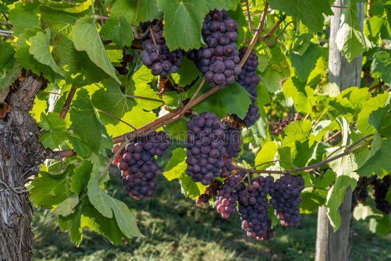 红葡萄酒比诺葡萄 库存照片