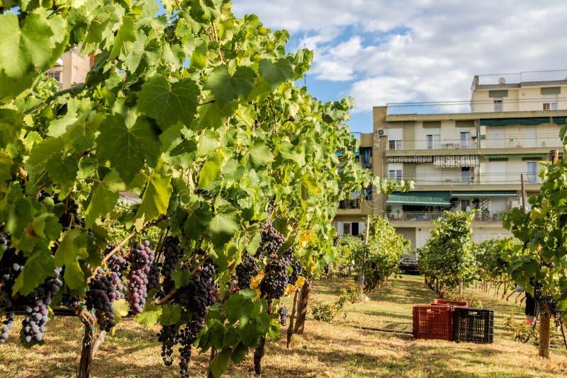 红葡萄酒葡萄大bunche从藤垂悬 成熟grapas 免版税图库摄影